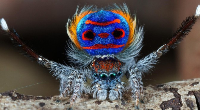 Peacock Spider Dance